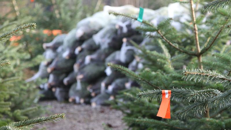Weihnachtsbaum Selber Schneiden.Christbaumverkauf 2019 Baumschule Weiss Rosenheim Christbaum